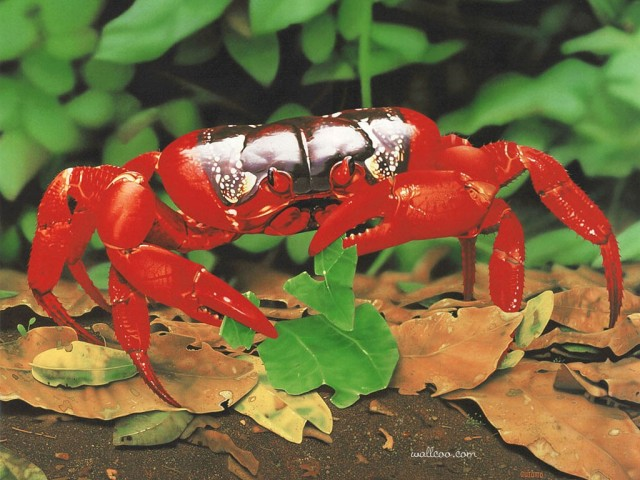 christmas-island-red-crab-ego