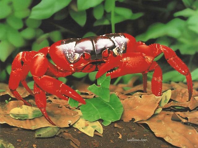 christmas-island-red-crab-ego